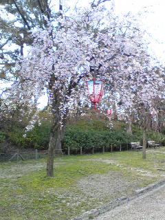 名古屋城の桜です